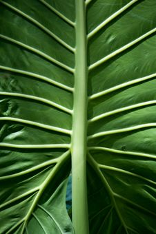 Free Large Green Leaf With Veins Stock Photos - 31710743