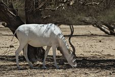 Free The Scimitar Horned Addax Stock Photo - 31711160