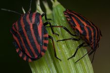 Free Pentatomidae Graphosoma Lineatum, Red And Black Striped Minstrel Bug Macro. Stock Photo - 31713260