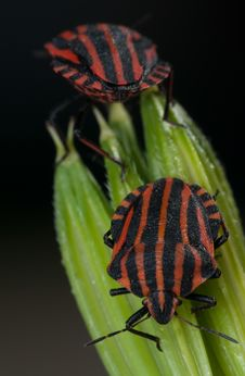 Free Red And Black Striped Minstrel Bug Vertical Macro. Stock Photography - 31713312