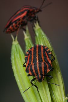 Free Red And Black Striped Minstrel Bug Vertical Macro. Stock Images - 31713324