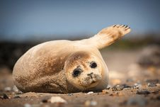 Free Seal Royalty Free Stock Photography - 31714567