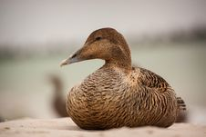 Free Eider Royalty Free Stock Photography - 31715127