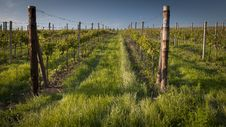 Free Vineyard Stock Image - 31717521