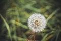Free Blowball Stock Image - 31720021