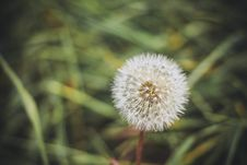 Free Blowball Stock Image - 31720021
