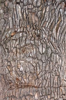 Free Oak Bark Texture Royalty Free Stock Photos - 31721288