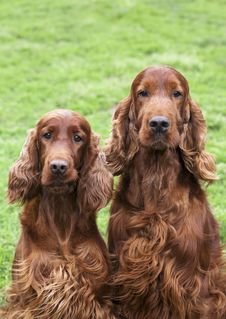 Free Beautiful Irish Setter Pair Royalty Free Stock Image - 31725246