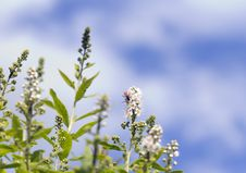 Free Spirea. Royalty Free Stock Photos - 31727728