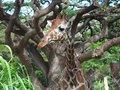 Free Giraffe Stock Photos - 31734423