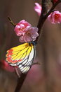 Free The Pink Plum Blossom With Butterfly Stock Photography - 31735672
