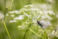 Free White Butterfly On The Flower Royalty Free Stock Photo - 31736615