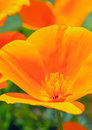 Free Orange Wildflower Royalty Free Stock Photography - 31737627