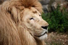 White Lion Portrait Royalty Free Stock Photography
