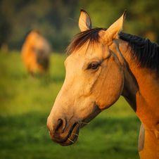 Free Horse Portrait Stock Image - 31736421