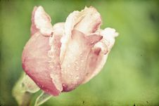 Free Close Up On Pink Roses Royalty Free Stock Photo - 31738355
