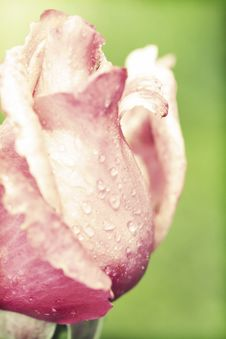 Free Pink Rose Stock Photography - 31738372