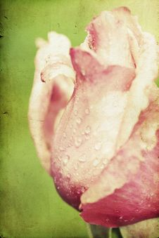 Free Close Up On Pink Roses Royalty Free Stock Image - 31738386