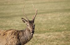 Free Red Deer. Royalty Free Stock Photography - 31739217