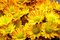 Free Yellow Chrysanthemum Stock Image - 31736861