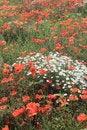 Free Mass Of Wild Chamomile Flowers Stock Photo - 31749190
