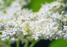 Free Bunch White Flowers Royalty Free Stock Images - 31740979
