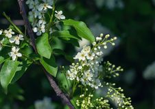 Free Bird-cherry Tree Royalty Free Stock Photography - 31741957