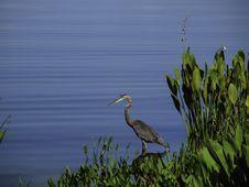 Free Heron Stock Photos - 31743173