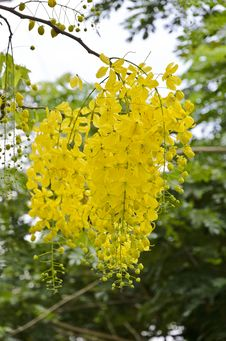 Free Golden Shower, Purging Cassia &x28; Cassis Fistula Linn &x29; Royalty Free Stock Photography - 31748007