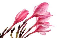 Pink Frangipani Flower Or Plumeria Stock Image
