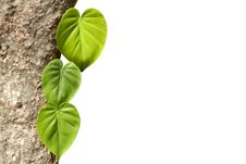 Free Climbing Plants On Trunk With White Background Royalty Free Stock Photography - 31748457