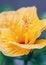 Free Yellow Abutilon Stock Photo - 31744610
