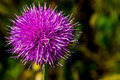 Free A Bull Or Spear Thistle In Full Bloom Stock Photo - 31750330