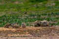 Free Wild Oklahoma Prairie Dogs In Intense Communications. Stock Images - 31750504