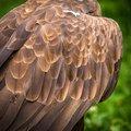 Free Eagle Stock Photography - 31758122