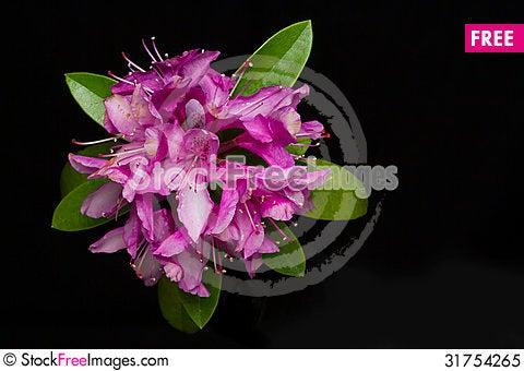 Free Fuchsia Rhododendron Royalty Free Stock Photo - 31754265