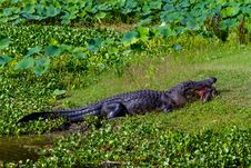 Free A Very Rare Shot Of A Large Texas Alligator Eating A Large Softshell Turtle &x28;messy&x29;. Stock Photography - 31750222