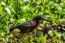 Free A Clear Profile Shot Of A Green Heron About To Catch A Crawfish For Lunch. Stock Image - 31750261