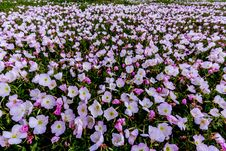 A Wide Angle Shot Of Hundreds Of Pink Texas Evening Primrose Wildflowers. Royalty Free Stock Photo