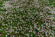 A Very Wide Angle Shot Of Hundreds Of Pink Texas Evening Primrose Wildflowers. Royalty Free Stock Photography