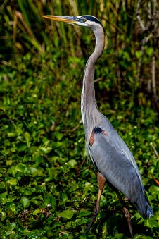 A Great Closeup Shot Of A Wild Great Blue Heron &x28;Ardea Herodias&x29; At 40 Acre Lake.  Texas.