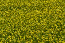 Free Close Wide Angle Shot Of Beautiful Bright Yellow Flowering Field Of Canola Plants. Royalty Free Stock Photography - 31750497
