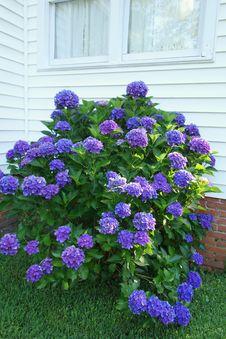 Free Healthy Tall Purple Hydrangea Bush Below Window An Stock Photography - 31751502