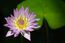 Tropical Water Lily And Lily Pad Stock Photo