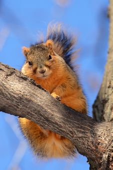 Free Squirrel On Tree Looking At You Royalty Free Stock Images - 31752899