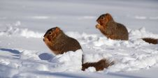 Free Two Squirrels In Snow Eating Stock Photography - 31752902