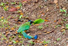 Free Blue-crowned Motmot With Big Katydid. Royalty Free Stock Images - 31753289