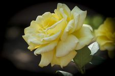 Free Yellow Rose Stock Images - 31754854