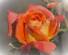 Free Orange Rose Stock Photo - 31754860
