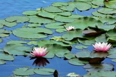 Free Water Lilies Royalty Free Stock Image - 31754896